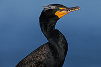 /images/133/2014-01-05-lajolla-cormorants-1x_23506.jpg - #11528: Double Crested Cormorant in breeding plumage in La Jolla, California … January 2014 -- La Jolla, California