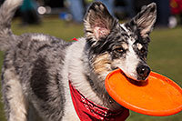 /images/133/2014-01-18-havasu-dogs-1dx_5307.jpg - #11665: Frisbee dog Bumper at Lake Havasu Balloon Fest … January 2014 -- Lake Havasu City, Arizona