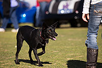 /images/133/2014-01-19-havasu-dogs-1dx_8244.jpg - #11683: Frisbee dog Sami at Lake Havasu Balloon Fest … January 2014 -- Lake Havasu City, Arizona