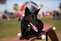 /images/133/2014-01-19-havasu-dogs-1dx_8319.jpg - #11686: Frisbee dog Sami at Lake Havasu Balloon Fest … January 2014 -- Lake Havasu City, Arizona