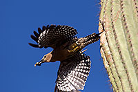 /images/133/2014-05-22-supers-woodpeckers-5d3_0711.jpg - #11780: Gila Woodpecker leaving the nest … May 2014 -- Superstitions, Arizona
