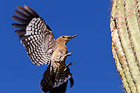 /images/133/2014-05-22-supers-woodpeckers-5d3_0730.jpg - #11781: Gila Woodpecker landing at the nest … May 2014 -- Superstitions, Arizona