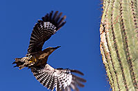 /images/133/2014-05-22-supers-woodpeckers-5d3_0848.jpg - #11782: Gila Woodpecker flying to the nest … May 2014 -- Superstitions, Arizona