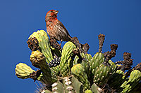 /images/133/2014-05-23-supers-sparrows-5d3_0096.jpg - #11784: Male House Finch on Saguaro Flowers in Superstitions … May 2014 -- Superstitions, Arizona
