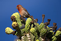 /images/133/2014-05-23-supers-sparrows-5d3_0116.jpg - 11790: Male House Finch on Saguaro Flowers in Superstitions … May 2014 -- Superstitions, Arizona