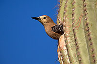 /images/133/2014-05-23-supers-woodpeckers-5d3_0139.jpg - #11786: Male Gila Woodpecker leaving the nest … May 2014 -- Superstitions, Arizona