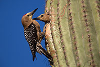 /images/133/2014-05-23-supers-woodpeckers-5d3_0236.jpg - #11787: Male Gila Woodpecker waiting his turn as female is leaving the nest … May 2014 -- Superstitions, Arizona