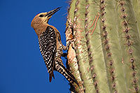 /images/133/2014-05-23-supers-woodpeckers-5d3_0250.jpg - #11788: Male Gila Woodpecker sticking his tongue out at the nest … May 2014 -- Superstitions, Arizona