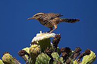 /images/133/2014-05-23-supers-wren-5d3_0273.jpg - #11789: Cactus Wren on top of a Saguaro Flower in Superstitions … May 2014 -- Superstitions, Arizona
