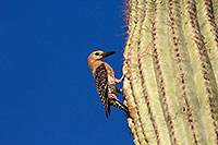 /images/133/2014-05-24-supers-woodpeckers-5d3_0683.jpg - #11794: Male Gila Woodpecker at the nest in Superstitions … May 2014 -- Superstitions, Arizona