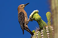 /images/133/2014-05-24-supers-woodpeckers-5d3_0731.jpg - #11795: Male Gila Woodpecker on Saguaro flower in Superstitions … May 2014 -- Superstitions, Arizona