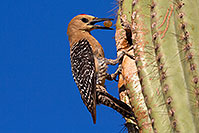 /images/133/2014-05-24-supers-woodpeckers-5d3_0761.jpg - #11796: Male Gila Woodpecker brings fruit to his nest to feed the baby … May 2014 -- Superstitions, Arizona