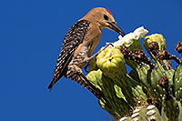 /images/133/2014-05-24-supers-woodpeckers-5d3_0790.jpg - 11802: Male Gila Woodpecker feeding on Saguaro flower in Superstitions … May 2014 -- Superstitions, Arizona