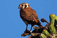 /images/133/2014-05-26-supers-kestrel-5d3_2219m.jpg - #11799: American Kestrel female in Superstitions … May 2014 -- Superstitions, Arizona