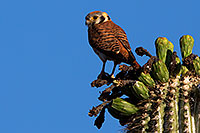/images/133/2014-05-26-supers-kestrel-5d3_2225.jpg - #11801: American Kestrel female in Superstitions … May 2014 -- Superstitions, Arizona