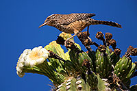 /images/133/2014-05-26-supers-warbler-5d3_2286.jpg - #11802: Cactus Wren in Superstitions … May 2014 -- Superstitions, Arizona