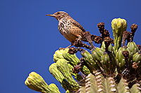 /images/133/2014-05-26-supers-warbler-5d3_2340.jpg - #11803: Cactus Wren in Superstitions … May 2014 -- Superstitions, Arizona