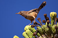 /images/133/2014-05-26-supers-warbler-5d3_2341.jpg - #11804: Cactus Wren in Superstitions … May 2014 -- Superstitions, Arizona