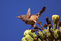 /images/133/2014-05-26-supers-warbler-5d3_2349.jpg - 11811: Cactus Wren in Superstitions … May 2014 -- Superstitions, Arizona
