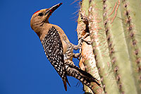/images/133/2014-05-26-supers-woodpeckers-5d3_2479.jpg - #11807: Male Gila Woodpecker by the nest in Superstitions … May 2014 -- Superstitions, Arizona