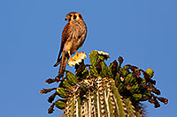/images/133/2014-05-27-supers-kestrel-5d3_3635.jpg - #11811: American Kestrel female in Superstitions … May 2014 -- Superstitions, Arizona