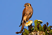 /images/133/2014-05-27-supers-kestrel-5d3_3635m.jpg - #11812: American Kestrel female in Superstitions … May 2014 -- Superstitions, Arizona