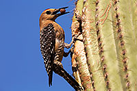 /images/133/2014-05-27-supers-woodpeckers-5d3_3988.jpg - #11818: Male Gila Woodpecker bringing fruit to the nest … May 2014 -- Superstitions, Arizona