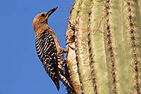 /images/133/2014-05-27-supers-woodpeckers-5d3_4107.jpg - #11819: Male Gila Woodpecker bringing fruit to the nest … May 2014 -- Superstitions, Arizona