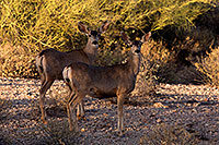 /images/133/2014-05-29-supers-deer-5d3_4817.jpg - #11820: Mule deer in Superstitions … May 2014 -- Superstitions, Arizona