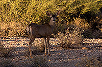 /images/133/2014-05-29-supers-deer-5d3_4823.jpg - #11821: Mule deer in Superstitions … May 2014 -- Superstitions, Arizona