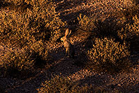 /images/133/2014-05-29-supers-jackrabbit-5d3_4844.jpg - #11822: Jackrabbit in Superstitions … May 2014 -- Superstitions, Arizona