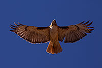 /images/133/2014-05-30-supers-hawks-5d3_4971.jpg - #11826: Red Tailed Hawk (adult) in Superstitions … May 2014 -- Superstitions, Arizona