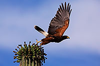 /images/133/2014-06-03-supers-harris-5d3_7707.jpg - #11832: Harris Hawk taking of from Saguaro Cactus … June 2014 -- Superstitions, Arizona