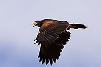 /images/133/2014-06-03-supers-harris-5d3_7815.jpg - #11836: Harris Hawk in flight … June 2014 -- Superstitions, Arizona