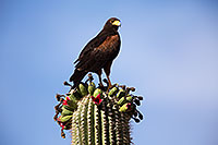/images/133/2014-06-03-supers-harris-5d3_7851.jpg - #11837: Harris Hawk on top of a Saguaro Cactus … June 2014 -- Superstitions, Arizona