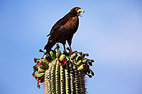 /images/133/2014-06-03-supers-harris-5d3_7854.jpg - #11838: Harris Hawk on top of a Saguaro Cactus … June 2014 -- Superstitions, Arizona