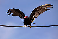 /images/133/2014-06-03-supers-vultures-5d3_7647.jpg - #11842: Turkey Vulture in Superstitions … June 2014 -- Superstitions, Arizona