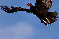 /images/133/2014-06-03-supers-vultures-5d3_7648.jpg - #11844: Turkey Vulture in flight in Superstitions … June 2014 -- Superstitions, Arizona