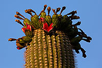 /images/133/2014-06-06-supers-saguaro-5d3_0222.jpg - #11853: Saguaro Cactus fruit in Superstitions … June 2014 -- Superstitions, Arizona