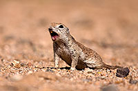 /images/133/2014-06-07-tucson-g-squirrels-0679.jpg - 11890: Round Tailed Ground Squirrels in Tucson … June 2014 -- Tucson, Arizona