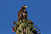 /images/133/2014-06-13-supers-hawks-5d3_0179.jpg - #12298: Juvenile Harris Hawk in Superstitions … June 2014 -- Superstitions, Arizona