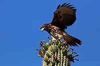 /images/133/2014-06-13-supers-hawks-5d3_0186.jpg - #12299: Juvenile Harris Hawk in Superstitions … June 2014 -- Superstitions, Arizona