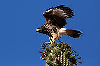 /images/133/2014-06-13-supers-hawks-5d3_0193.jpg - #12300: Juvenile Harris Hawk in Superstitions … June 2014 -- Superstitions, Arizona