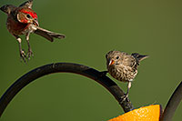 /images/133/2014-06-15-tucson-birds-5d3_1363.jpg - #11929: Male (left) and female House Finches in Tucson … June 2014 -- Tucson, Arizona