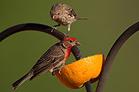/images/133/2014-06-15-tucson-birds-5d3_1365.jpg - #11930: Male (front) and female House Finches in Tucson … June 2014 -- Tucson, Arizona