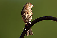 /images/133/2014-06-15-tucson-birds-5d3_1382.jpg - #11931: Female House Finch in Tucson … June 2014 -- Tucson, Arizona