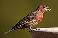 /images/133/2014-06-15-tucson-birds-5d3_1507.jpg - #11932: Male House Finch in Tucson … June 2014 -- Tucson, Arizona