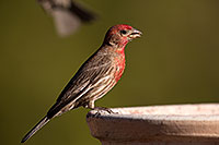/images/133/2014-06-15-tucson-birds-5d3_1512.jpg - #11933: Male House Finch in Tucson … June 2014 -- Tucson, Arizona
