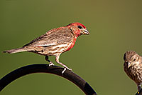 /images/133/2014-06-15-tucson-birds-5d3_1528.jpg - #11934: Male House Finch in Tucson … June 2014 -- Tucson, Arizona