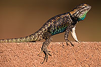 /images/133/2014-06-21-tucson-lizard-1dx_0045.jpg - #11964: Male Desert Spiny Lizard in Tucson … June 2014 -- Tucson, Arizona